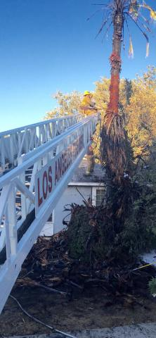 Ladder Truck with firefighters removing burn palms from a tree