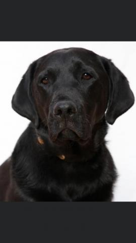 Headshot of a black labrador named Major who was an Accelerant Detection canine for the LAFD